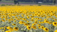 dolly: Field of sunflowers  head bend down in afternoon video
