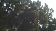 Dolly green pine with green background video