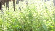 Dolly : hoary basil flower sunlight video