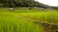 dolly: Pa Pong Pieng rice paddy video