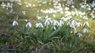 Dolly shoot of wild white snowdrops moving in a wind in green meadow. Pan right to left video