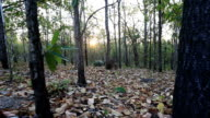 Dolly shot :deciduous dipterocarp forest, scenic of dry season in Thailand video