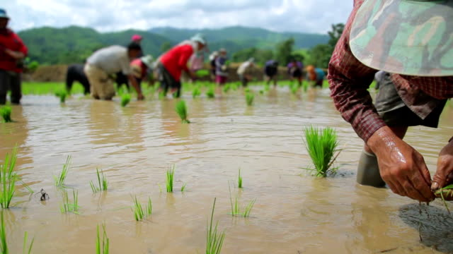 Dolly shot of farmers plant rice in paddy field video