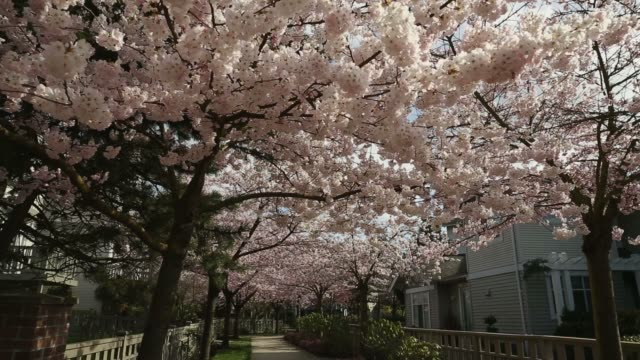 dolly shot, Pink Cherry Blossom Path video