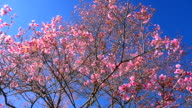 Dolly Shot: Spring Pink Cherry Blossoms with Blue Sky Backgrounds video