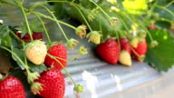 Dolly shot: Strawberry bush growing in the farm video