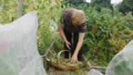 Dolly Shot Through Allotment Towards Gardener Picking Peas video
