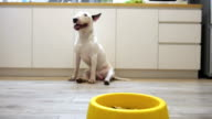 Dolly shot to bull terrier dog eat food video