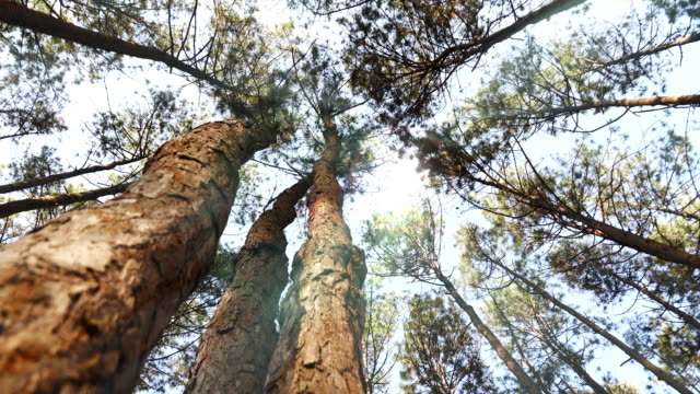 Dolly shot:Sunlight through Pine forest video