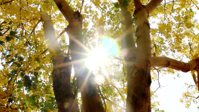 Dolly : sun ray Golden shower tree video