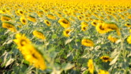 dolly: wither sunflowers tree in afternoon video