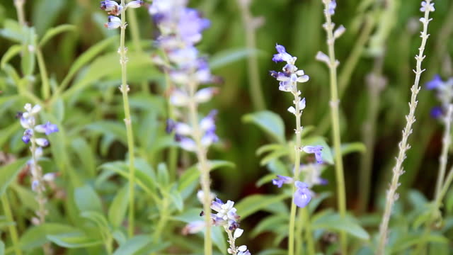 Dolly:Blue Salvia And Lavender Flowers Blooming In The Garden And Field video