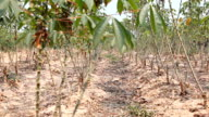 HD Dolly:Cassava tree. Arable agricultural land video