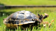 HD dolly:Dead turtle on the grass. video