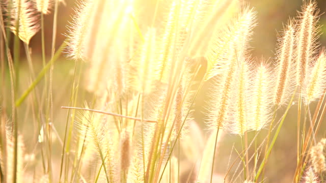 HD Dolly:Flower of grass video