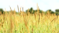 HD dolly:grass flower on Field video