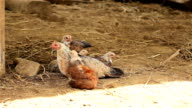 HD Dolly:Hen and chicks video