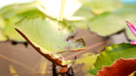 HD Dolly:Lotus in full bloom in the garden. video