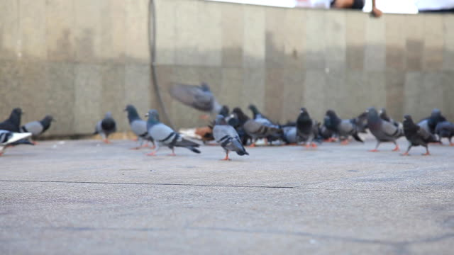 HD DOLLY:Pigeons are walking for food on the ground. video