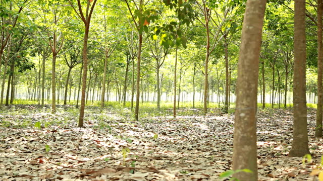 HD Dolly:Plantation rubber trees video
