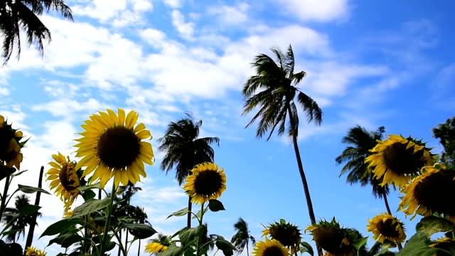 HD DOLLY:Sunflower fields in season video