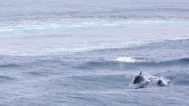 dolphin pod surfing video