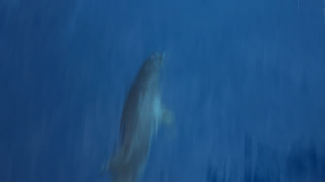 Dolphin swimming. video