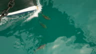Dolphins escorted ship video