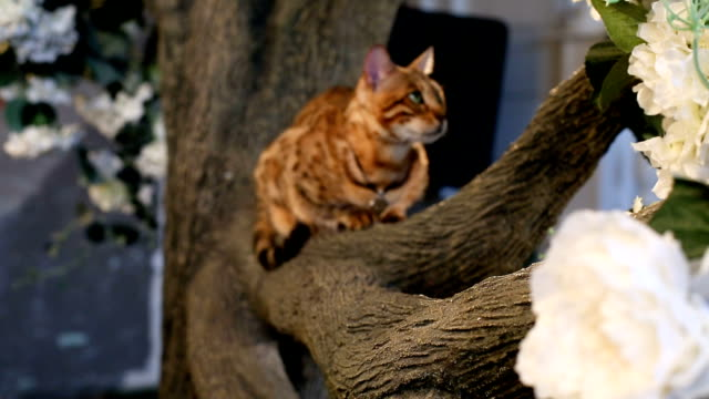Domestic Bengal Cat On Branch video