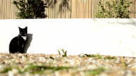 Domestic Cat - Garden Wall video
