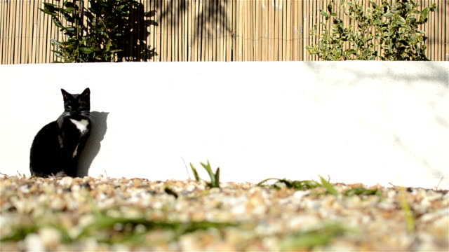 Domestic Cat - Garden Wall video