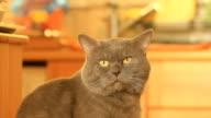 HD: Domestic Cat video