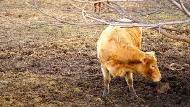 Domestic Farm Cow Domestic Livestock Scratches His Back on Tree video