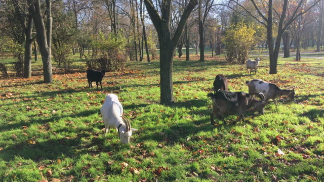Domestic goats in the early morning in a city park video