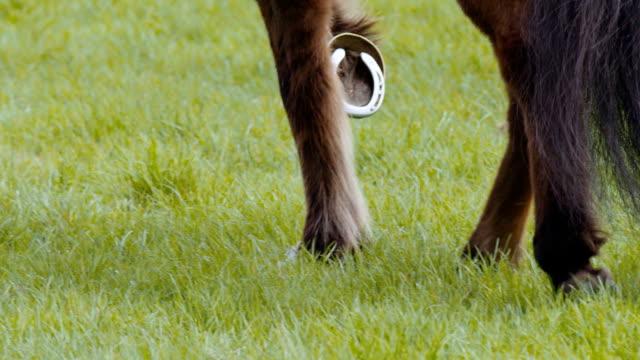 Domestic pony walking video