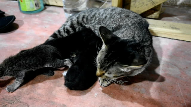 Domestic thai cat and newborn baby cat video