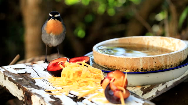 Domestic Wildlife: Cape Robin-Chat eating video