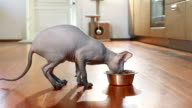 Don Sphinx cat eating from a bowl video