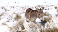 Donkey in snow video