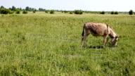 Donkey (HD) video