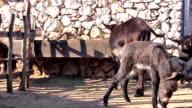 Donkeys at farm video