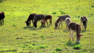donkeys grazing on pasture on the ranch video