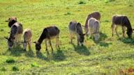 donkeys grazing on pasture video