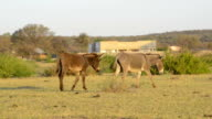 Donkeys in Africa video