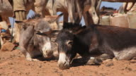 Donkeys in the Nubian Sudanese Desert video