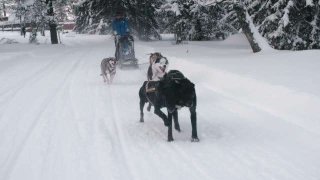 Dos sled team running down snowy trail video
