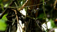 Dot-Winged Antwren (Microrhopias Quixensis) catching and feeding on bug hiden in leaf video