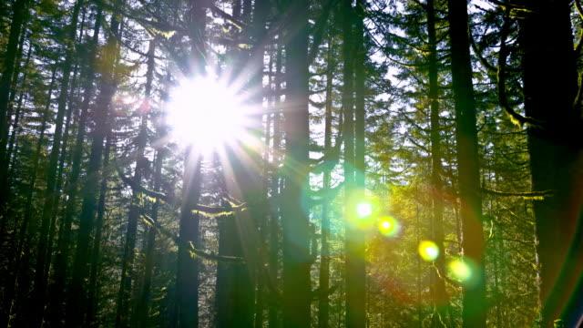Douglas Fir Forest video