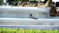 Dove bathed in the fountain video