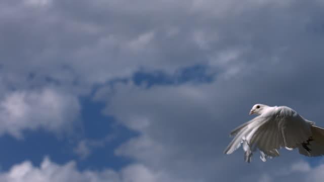 Dove flies across sky, slow motion video